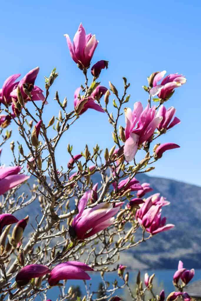 fully in bloom fuchsia magnolias