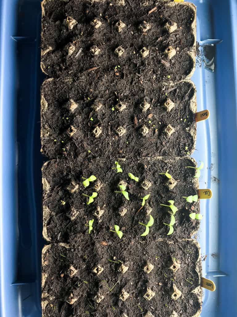 Garden seedlings- day 8