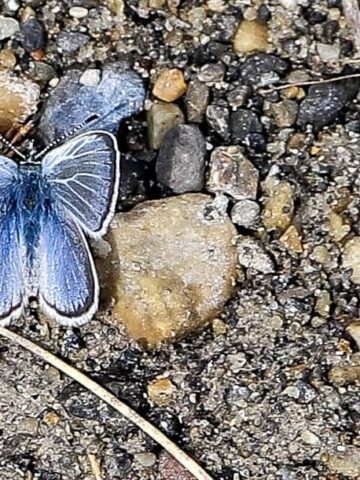 bright blue butterfly posing on some rocks on the shoreline