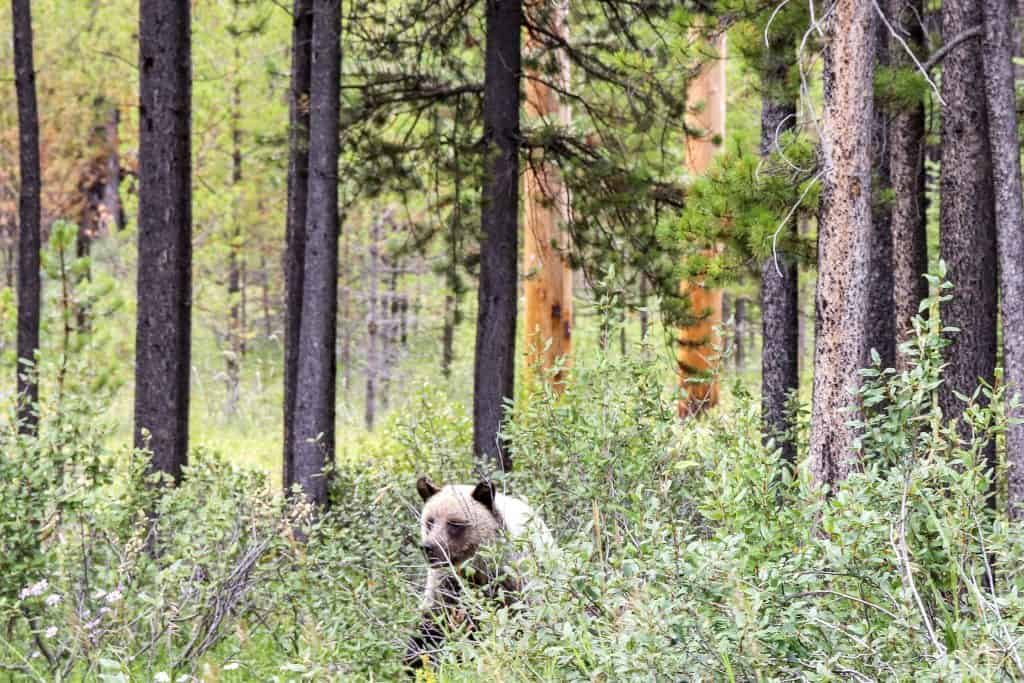 young grizzly bear in the woods on one of our camping trips