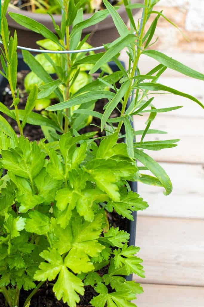parsley and tarragon