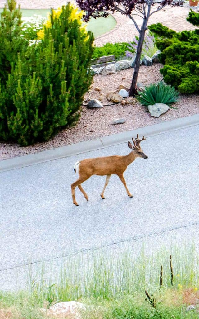 a deer walking up the road on our trip to British Coloumbia