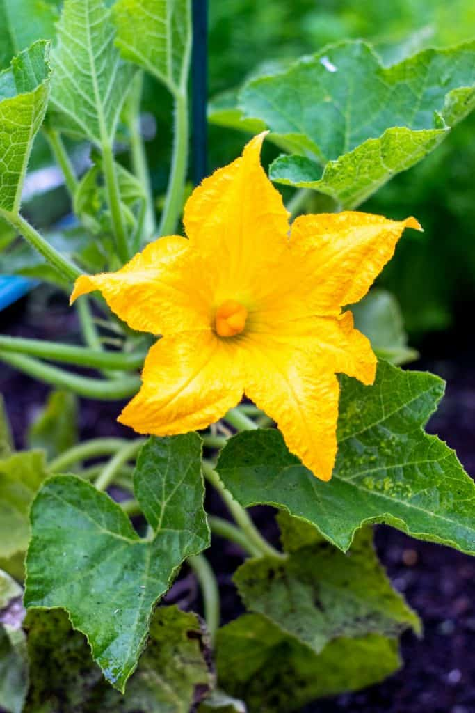 a large yellow flower on my acorn squash plant in my garden